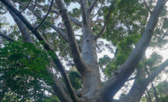 Tree on Fraser Island